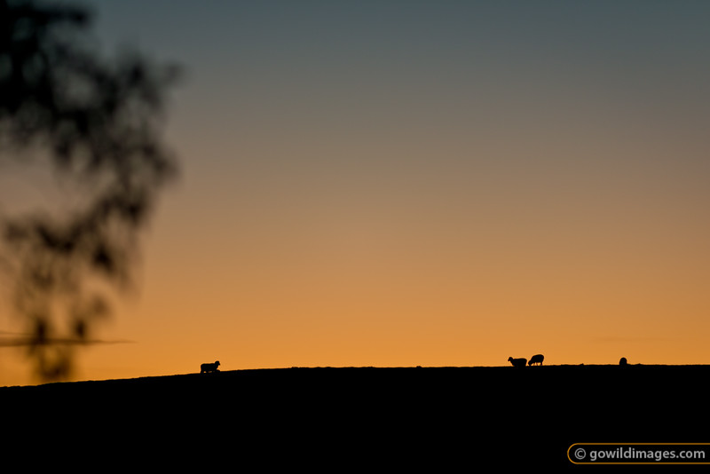 Ewes and lambs silhouetted against the evening sky