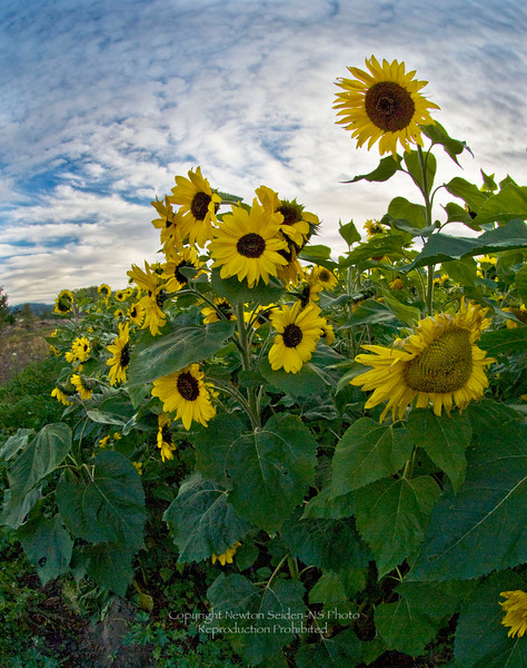 Sunflowers9477.jpg