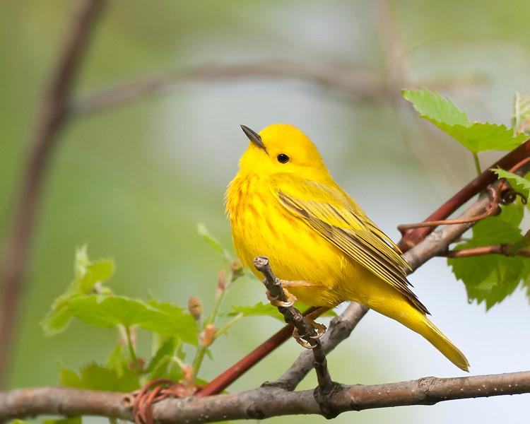 yellow warbler2.jpg