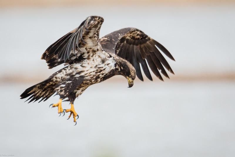 Bald Eagle 1.jpg