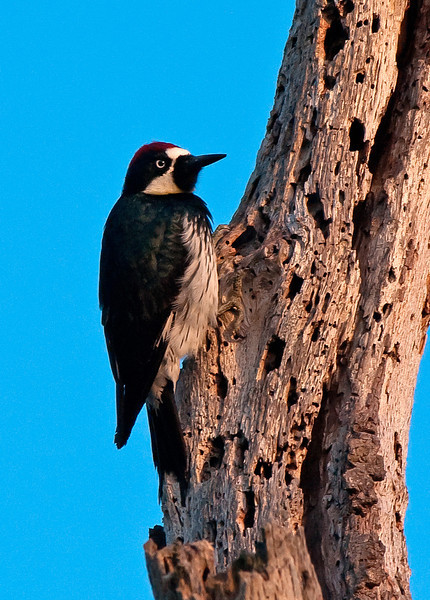 ACORN WOODPECKER ~ at it's Grainery Tree ~ Penasquitos Canyon Preserve ~ 03.19.10