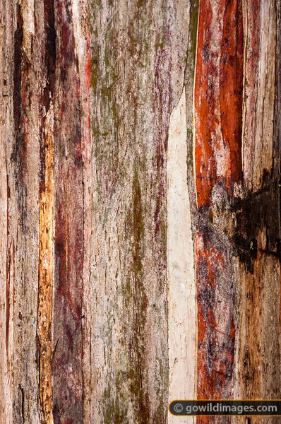 Snow gum bark detail