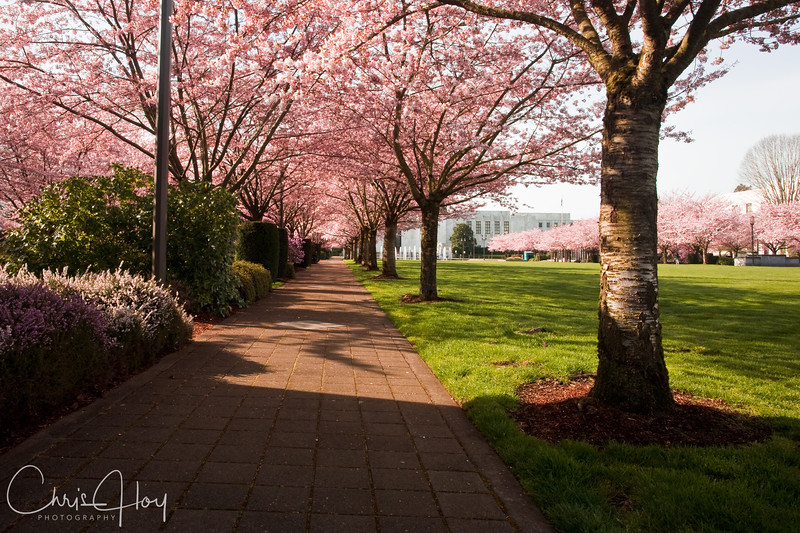 Cherry Blossoms -- Oregon State Capitol -- Salem, Oregon