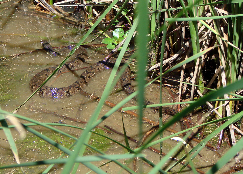 Diamondback Water Snake (Nerodia rhombifer).  TX: Tarrant Co. (Woodland Springs Greenbelt -- Fort Worth), 26 April 2007.
