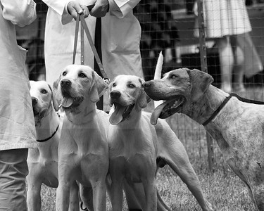VA Foxhound Show 5-29-16