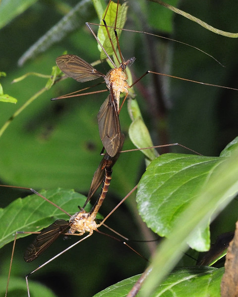 Crane-Flies-Mating.jpg