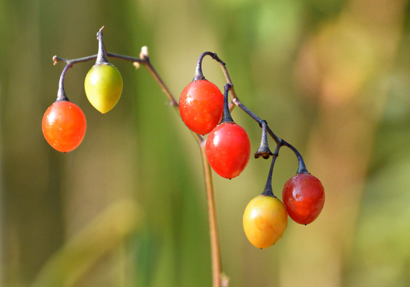 Wild-tomatoes-different-colorsB.jpg