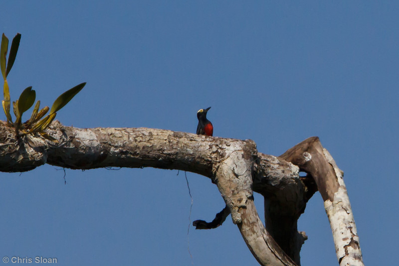 Yellow-tufted Woodpecker at Juan Guerra, Tarapoto, Peru (07-04-2010)-64.jpg