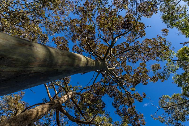 Baumkrone eines Eukalyptus (Gum Tree)
