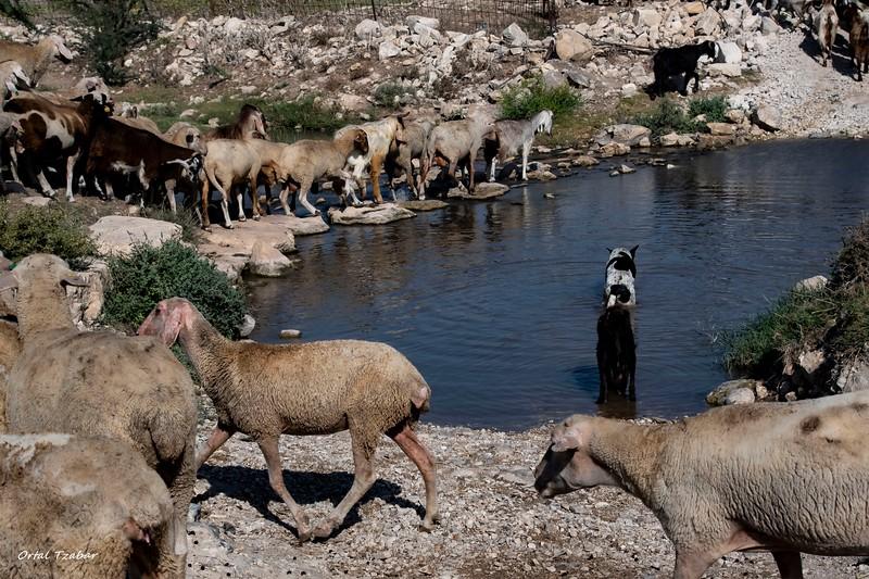 כבשים חוצות נחל ציפורי.jpg