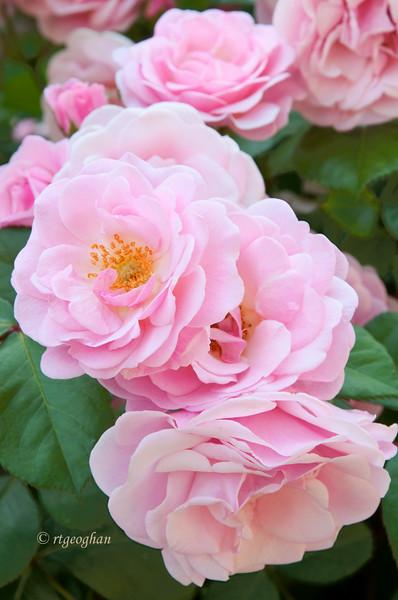 May 31_Pink Roses_0171.jpg
