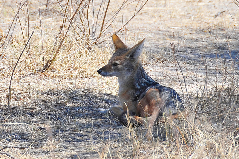 EPV1015 Jackal Near Hyena Kill.jpg