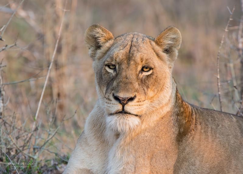 African Lion, Sabi Sands (EP), SA, Sept 2015-18.jpg