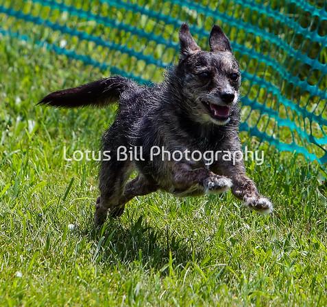 Norfolk Terrier DH2