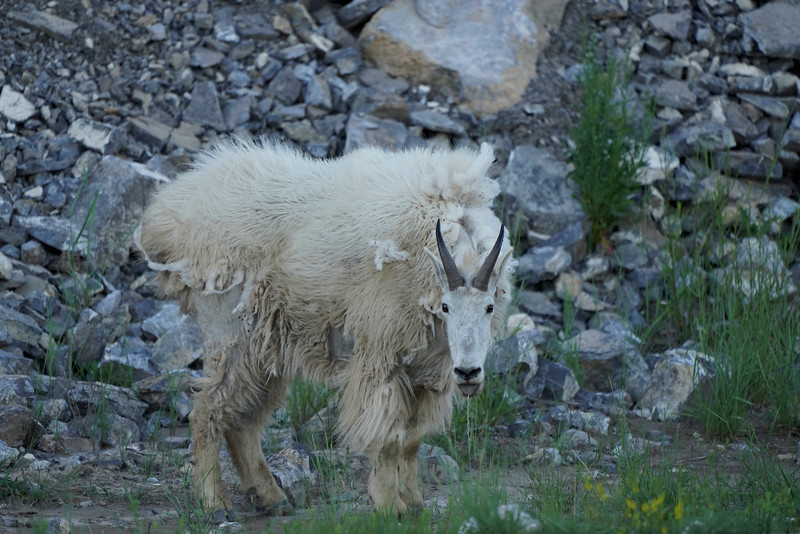Mountain Goat in Grand Teton National Park