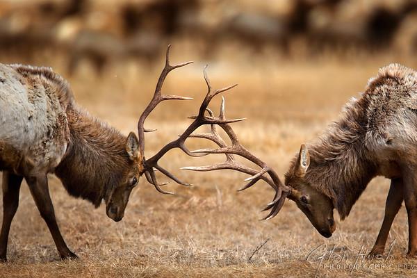 Elk200_20x30