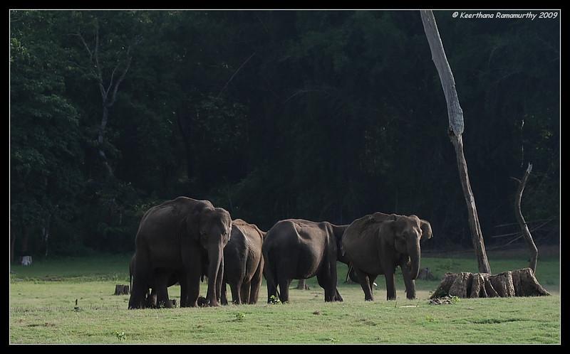 Elephant herd grazing by the river bank, Kabini, Mysore, Karnataka, India, June 2009
