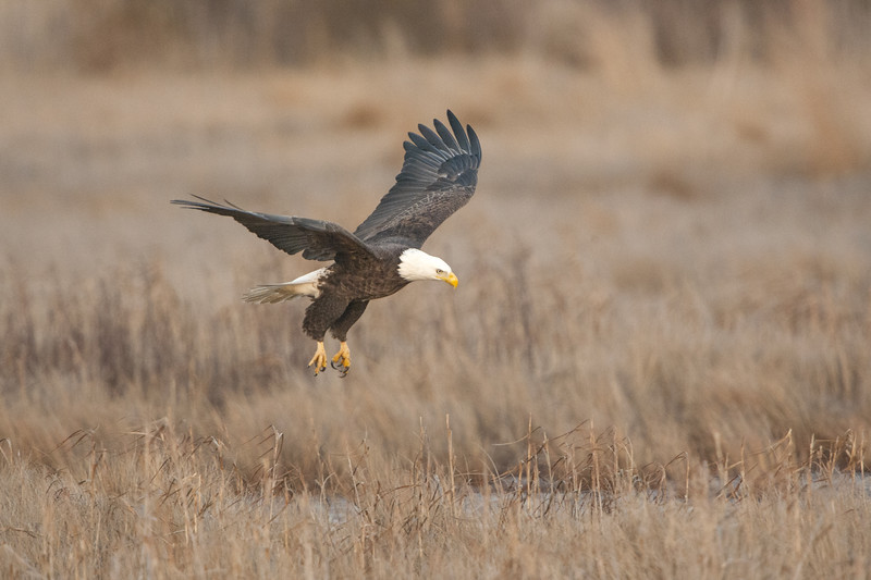 Bald Eagle Lift Off.jpg