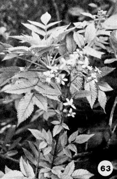 63. Bidens torta Image from the Kaala Bog Plant Guide: Kaala Natural Area Reserve, Mt. Kaala, Oahu, a 1992 publication of the State of Hawaii (DLNR/DOFAW) .
