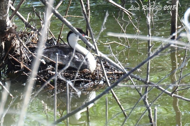 Western Grebe on nest  - 6/1/2018 - Lake Hodge-Bernardo Bay Trail
