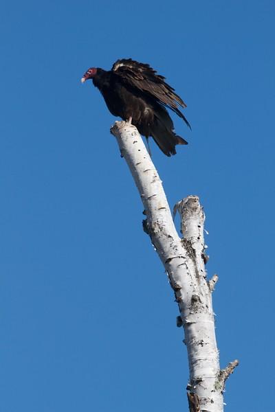 Turkey Vulture sun bathing wings spread Tofte dump Cook Co MN IMG_9700.jpg