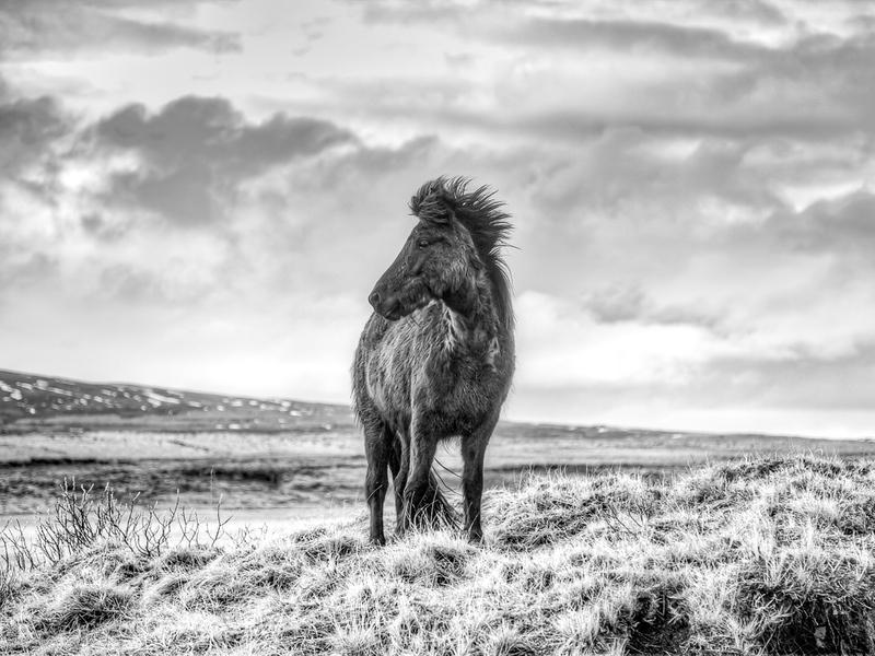 Iceland Horse-.jpg