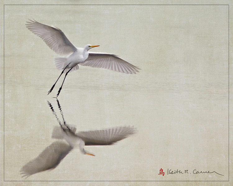 Great Egret landing en pointe