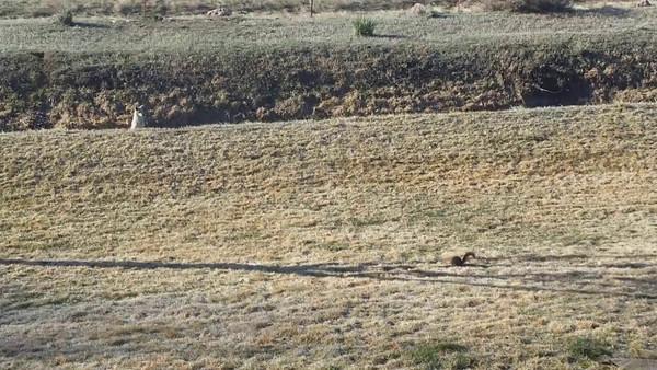 Coyote versus squirrel
