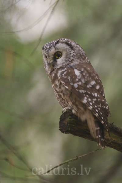 Tengmalm's Owl on a pearch
