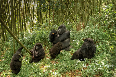 Gorillas for Conservation Through Public Health Charity