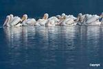 White Pelicans  Baton Rouge  LA