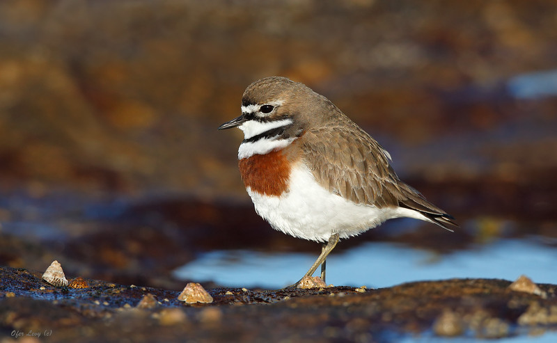 Double-banded Plover 2.jpg