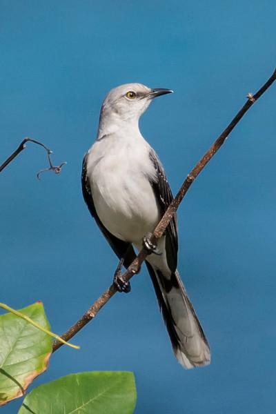 Mockingbird - Northern - Cozumel, Mexico
