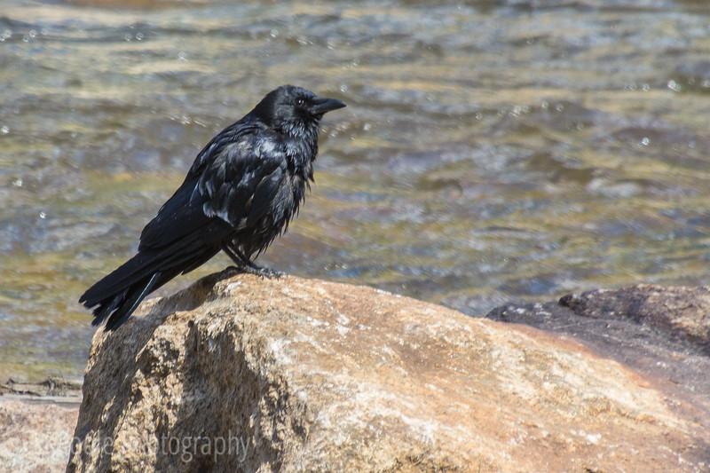 One Wet Crow