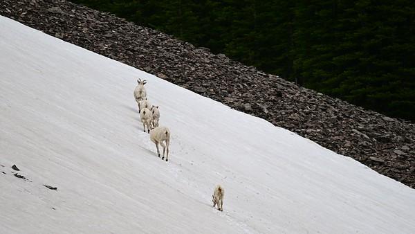 6-21-20 Video - Big Horn Sheep - Lambs