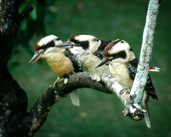 Woodpeckers & Kingfishers
