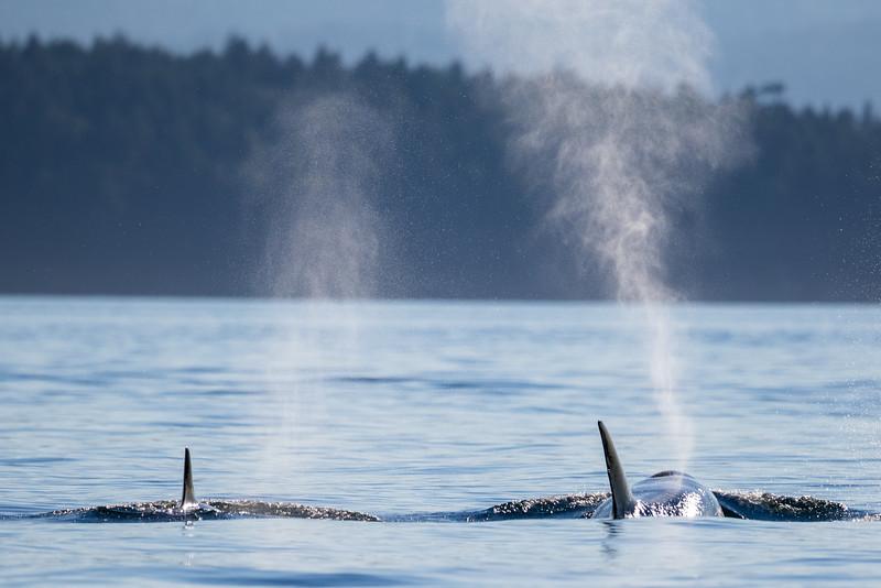 Orcas -  073115-441.jpg