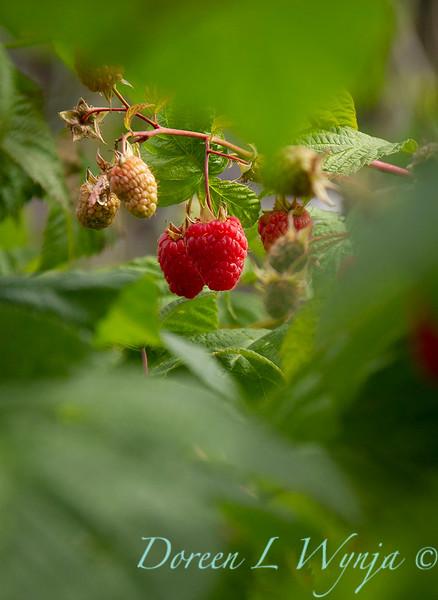Raspberries on the vine_5353.jpg