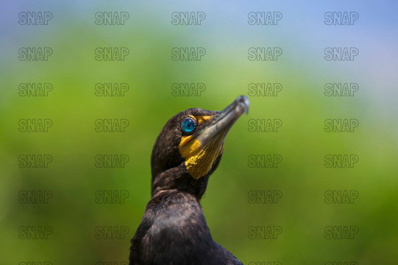 Close-up of a Double-crested Cormorant (Phalacrocorax auritus), at the Jacksonville Zoo and Gardens.