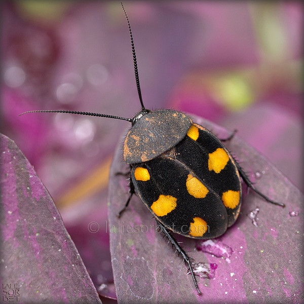 A black insect with yellow dots that we only see during the monsoon in October in Tamil Nadu, India.