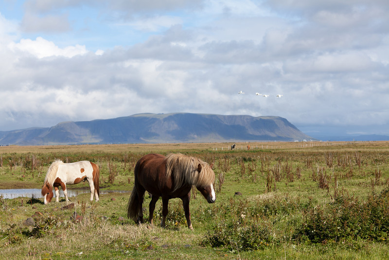 Islandic Horses