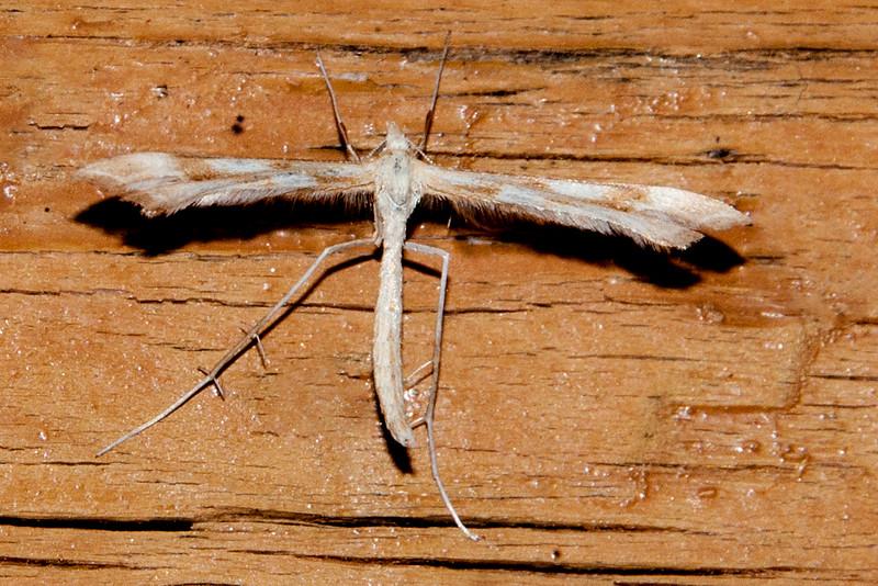 Plume Moth - Yarrow - (Gilmeria pallidactyla) - Dunning Lake - Itasca County, MN