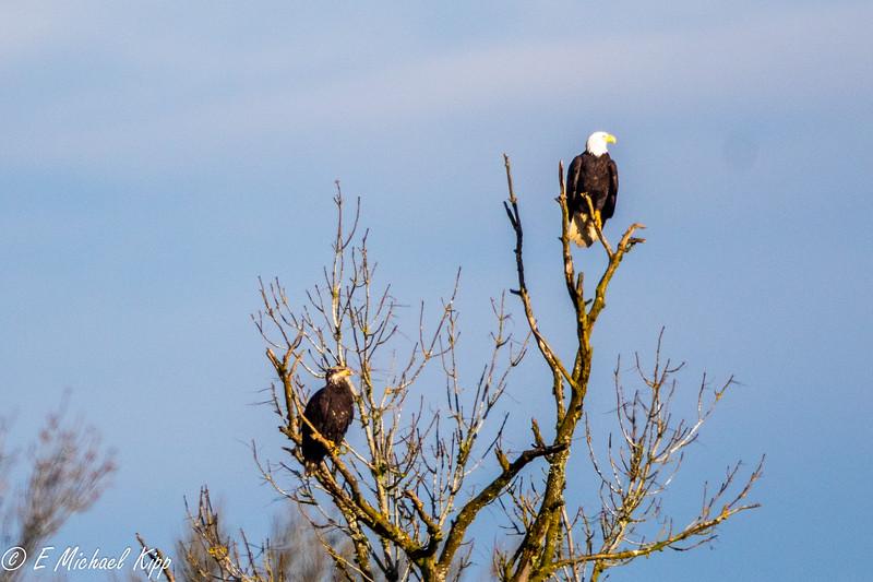 Bald Eagles Tree Dispute -0196.jpg