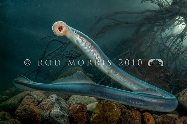 New Zealand Freshwater Fish