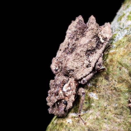 Ironclad beetles (Zopheridae)
