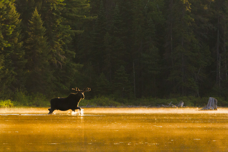 moose-safari-algonquin-park-ontario-37.jpg