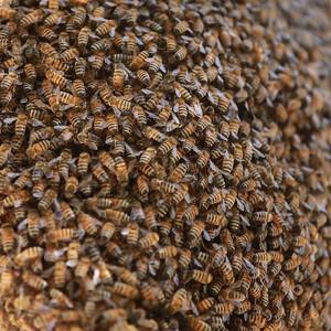 Honey bee's