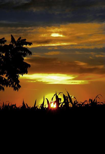 Corn field fox lake.jpg
