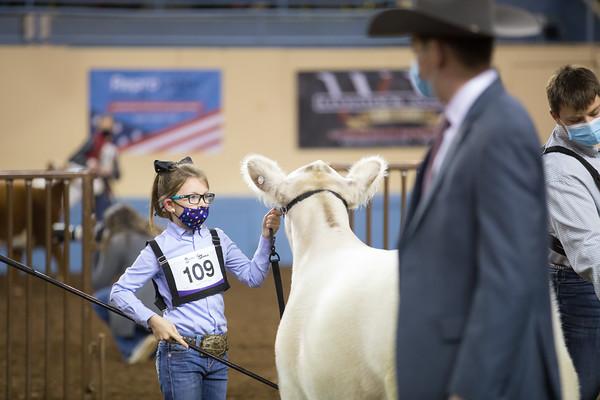 Junior Composite Heifers