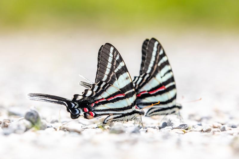 Zebra swallowtails